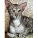Ориентальный кот Алмазная вышивка мозаика АЖ-1728