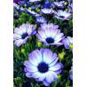 Альпийские цветы AG2320