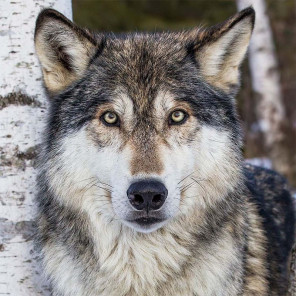 Серый волк Раскраска картина по номерам на холсте KH0375