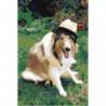 Колли в шляпе 100х150 Раскраска картина по номерам на холсте