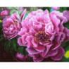 Цветение пиона Раскраска картина по номерам на холсте