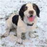 Собака породы бернский зенненхунд 80х80 Раскраска картина по номерам на холсте