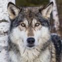 Серый волк Раскраска картина по номерам на холсте KH0700