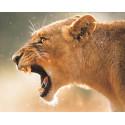 Львица на охоте Алмазная мозаика на подрамнике LG185