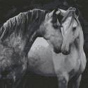 Пара лошадей Раскраска картина по номерам на холсте KHM0036
