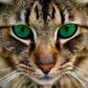 Бенгальская кошка Алмазная мозаика вышивка на подрамнике Molly KM0671