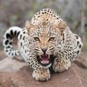 Леопард Алмазная мозаика вышивка на подрамнике Molly KM0672