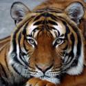 Задумчивый тигр Алмазная мозаика вышивка на подрамнике Molly KM0682