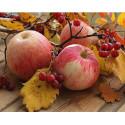 Спелые яблоки Алмазная мозаика вышивка на подрамнике Molly KM0867