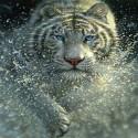 Тигр Алмазная мозаика вышивка без подрамника Molly KM0215