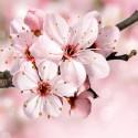 Яблоня в цвету Алмазная мозаика вышивка без подрамника Molly KM0239