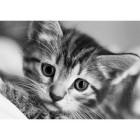 Черно-белый кот Алмазная вышивка (мозаика) Гранни