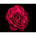 Алый цветок в тени Раскраска картина по номерам на холсте PK11447