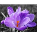 Цветок крокуса Алмазная частичная вышивка (мозаика) Molly KM0933