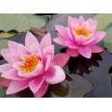 Розовые кувшинки Алмазная частичная вышивка (мозаика) Molly KM0940