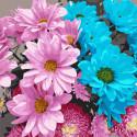 Разноцветные хризантемы Картина по номерам Molly KH1085