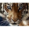 Взгляд тигра Раскраска картина по номерам на холсте