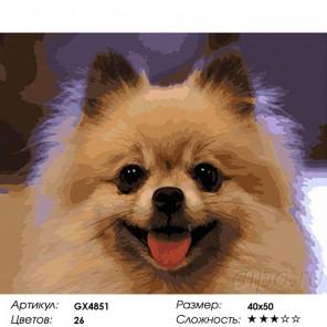 Сложность и количество красок  Шпиц Раскраска картина по номерам на холсте GX4851