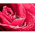 Розы бутон Раскраска по номерам на холсте Iteso