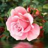 Роза у воды Алмазная вышивка мозаика АЖ-1704